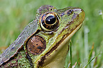 Green Frog headshot.