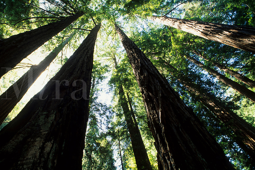 Old  Redwood trees looking straight up in the  Muir Woods near San Francisco Californi