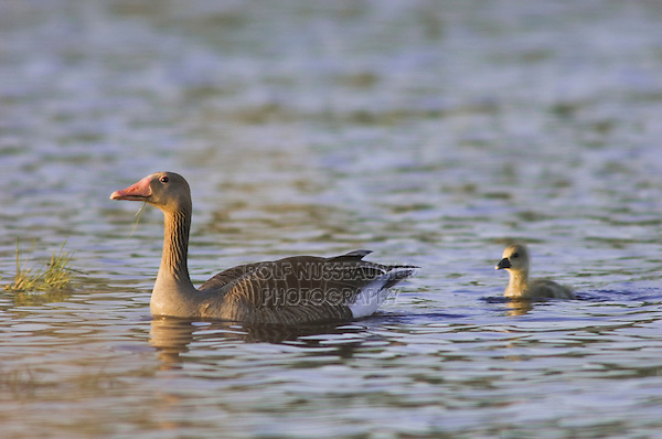 Greylag Goose, Anser anser, adult with young,National Park Lake Neusiedl, Burgenland, Austria, April 2007