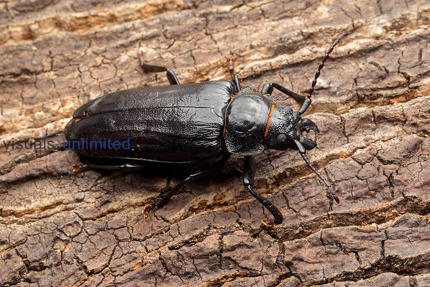 Live Oak Root Borer (Archodontes melanopus), Florida, USA