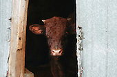 head shot of a young beef cow with horns looking out open door of tin sided barn
