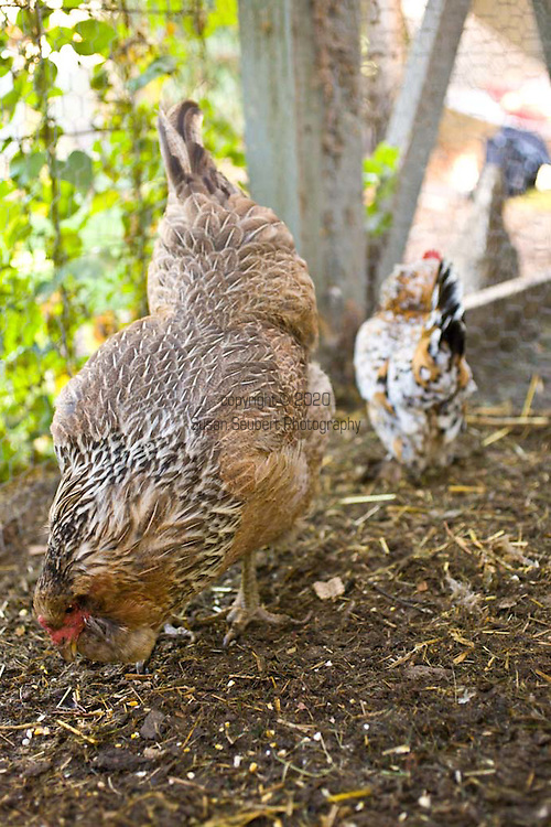 chickens in the coup