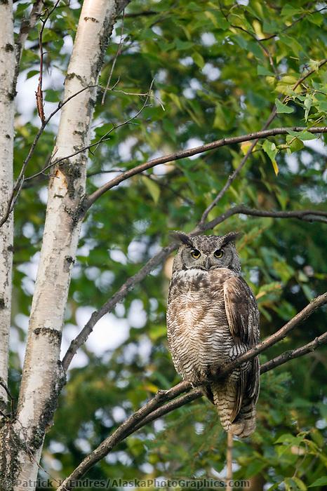 Great Horned Owl, Fairbanks, Alaska