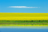 Canola refected in water from heavy rains<br /> Bracken<br /> Saskatchewan<br /> Canada