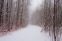 SUBJECT: Woodland Trail IMAGE: Muted through the falling snow, the trail is fringed, incongruously,  by colourful stalks and remnants of warmer seasons. The snow, as mist, obscures the trail ahead with mystery and curiosity.