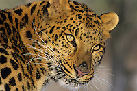 Amur leopard or Korean Leopard (Panthera pardus orientalis), Endangered Species.