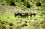Nevada: Wild horses near Reno. Photo: nvre20103  .Photo copyright Lee Foster, www.fostertravel.com, 510/549-2202,  lee@fostertravel.com