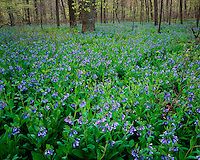 Field of Virginia Bluebells (Mertensia virginica) in bloom in Aman Park; Grand Rapids, MI