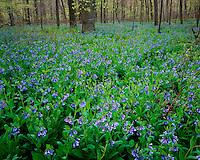 Field of Virginia Bluebells (Mertensia virginica) in bloom in Aman Park; Grand Rapids, MI