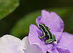 Three Striped Poison Dart Frog (Epipedobates trivittatus) on Yesterday-today-and-tomorrow  (Brunfelsia grandiflora)