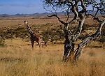 A giraffe stands among trees in the Loldaika Mountains, Kenya.