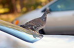 Blue Grouse Hood Ornament Dusky Grouse Bryce Canyon National Park