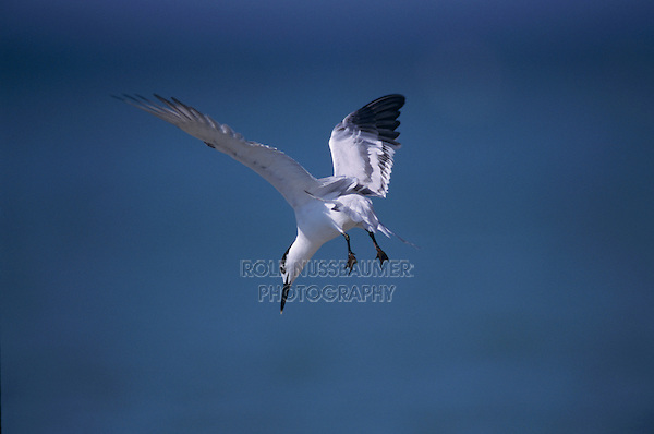 Sandwich Tern, Sterna sandvicensis,adult winter plumage fishing, Sanibel Island, Florida, USA