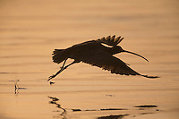 Long-billed Curlew (Numenius americanus parvus), adult taking flight on Cayucos Beach in Cayucos, California at sunset.