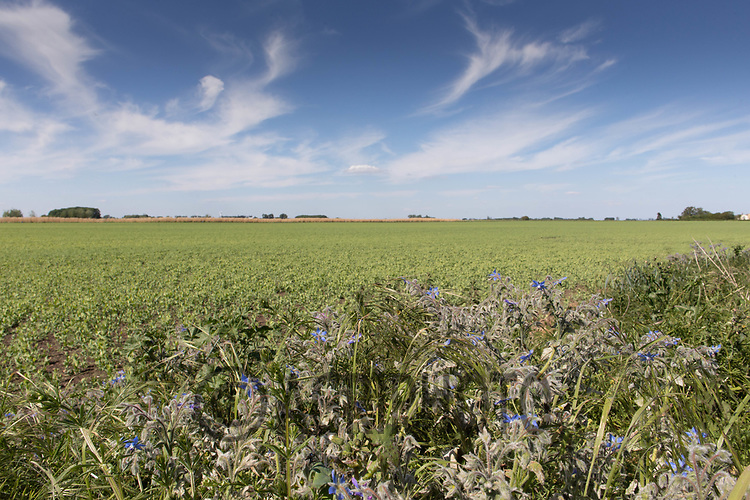 21.5.2020 Wild flower mix field margin in the Lincolnshire Fens <br /> ©Tim Scrivener Photographer 07850 303986<br />      ....Covering Agriculture In The UK....