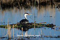 00606-00318  Western Grebe (Aechmophorus occidentalis) on nest, Waubay NWR Mgmt Area  Waubay  SD