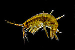 Gammarus locusta, Amphipoda, malacostracans, microscopic, darkfield illumination, marine, sea, ocean.United Kingdom....