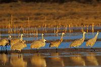Sandhill cranes (Grus canadensis), Bosque del Apache, New Mexico.
