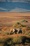 Elephant du désert (déserticole, unique au monde)  près de la rivière Khumid. .Namibie. Afrique.Desert elephant nearby Khumid river.Namibia; Africa