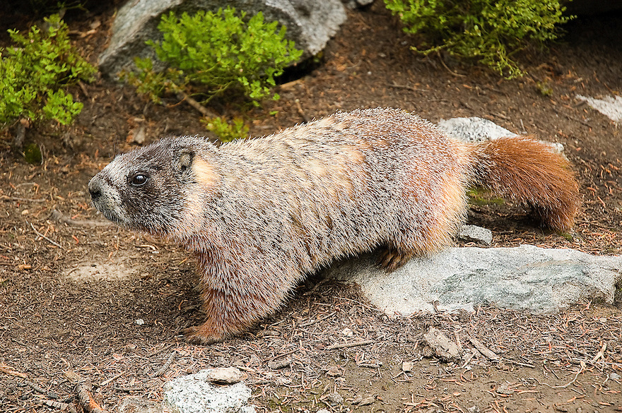 A marmot appears in the rocks along the West Boulder River near McLeod, Montana.