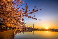 Cherry Blossoms Washingon Monument Tidal Basin Washington DC