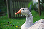 ADFTNE Head of white Embden goose