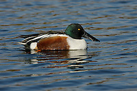 Northern Shoveler - Anas clypeata - male