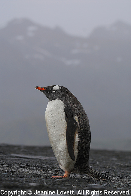 Profile of a well fed gentoo penguin on a black rocky beach with a blurred mountain background.