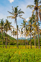 Picture of Exotic Palm Trees on Mangsit Beach, Lombok, Indonesia. This panoramic photo shows the tropical palm trees that line Mangsit Beach on Lombok Island, Indonesia.