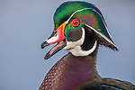 Canada, British Columbia, Fraser River Delta, wood duck (Aix sponsa)