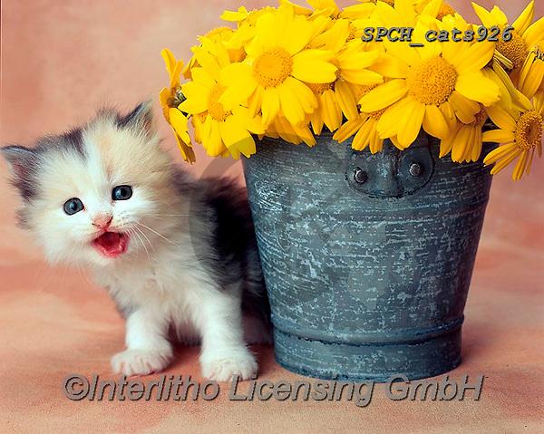 Xavier, ANIMALS, REALISTISCHE TIERE, ANIMALES REALISTICOS, cats, photos+++++,SPCHCATS926,#a#, EVERYDAY