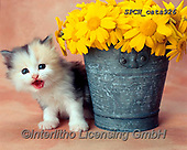 Xavier, ANIMALS, REALISTISCHE TIERE, ANIMALES REALISTICOS, cats, photos+++++,SPCHCATS926,#a#, EVERYDAY