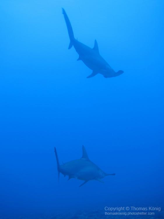 Gun Shui Bi, Green Island -- Two scalloped hammerhead sharks vanishing into the blue.