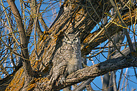 Great Horned Owl (Bubo virginianus) resting in large willow tree.  Oregon, spring.