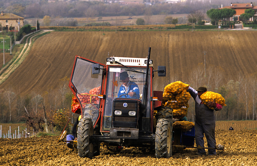 Farmer sowing potatoes