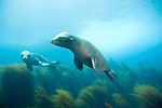 Coronado Islands, Baja California, Mexico; California Sea Lions swimming in the shallow water near the rocky shoreline , Copyright © Matthew Meier, matthewmeierphoto.com All Rights Reserved