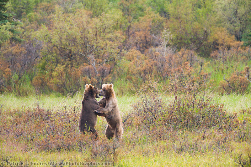 Brown bear play fighting behaviour in the grasses along the Brooks River, Katmai National Park, Alaska