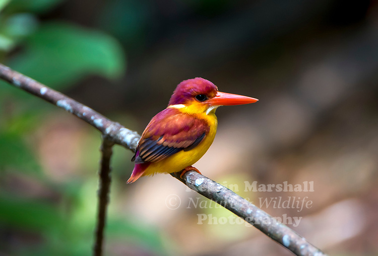 Rufous-backed Kingfisher (Ceyx rufidorsa) a colourful  little bird that dwells in the rain-forest in South-East-Asia.