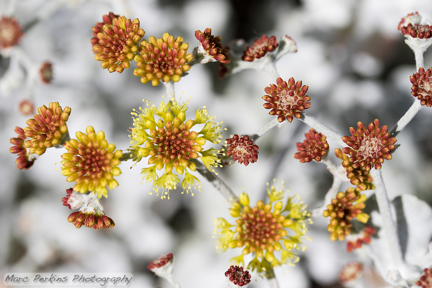 Eriogonum crocatum, saffron buckwheat, has beautifully geometrical flower heads.  Here their rust-colored young flower buds are seen next to yellow larger buds and a few open flowers against the white background of their silvery leaves.