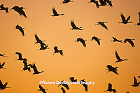 00882-00519 Sandhill Cranes (Grus canadensis) in flight at sunset,  near Kearney   NE