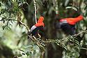 Male Andean cock-of-the-rock (Rupicola peruvianus). At a lek in mid-altitude montane rainforest. Manu Biosphere Reserve, Amazonia, Peru.