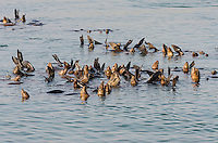A raft of California sea lions (Zalophus californianus).  Central California Coast.  These sea lions are sunning to warm or maintain their body temperature.