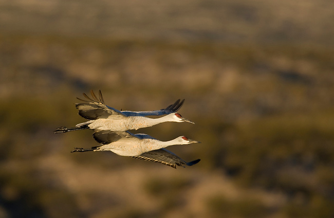 A pare of Sandhill Cranes in flight, Bosque Del Apache National Wildlife Refuge, New Mexico, USA, December 18, 2007.  Photo by Gus Curtis