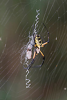 Yellow Garden Spider (Argiope aurantia), adult in web with prey, Lillington, North Carolina, USA