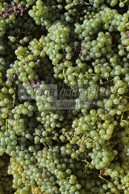 Europe/France/Champagne-Ardenne/51/Marne/Cramant: Côte de blancs - Vendanges MUMM - Cépage Chardonnay - Grappes de raisins blancs cépage chardonnay