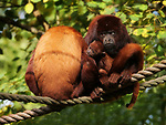 Pictured: Baby howler monkey looks surprised<br /> <br /> A baby monkey looks wide-eyed with amazement as it watches other monkeys swinging through the trees.   Sat on its mother's shoulders, the seven week old baby appears in awe of the antics of other monkeys in the forest around her.<br /> <br /> Taken in the 62-acre Gaia Zoo, located in Kerkrade in the Netherlands, photos show the young red howler monkey taking in the world around him.  Mouth open, the infant looks like he cannot believe what he is seeing in.   SEE OUR COPY FOR DETAILS<br /> <br /> Please byline: Brigitte Nietsch/Solent News<br /> <br /> © Brigitte Nietsch/Solent News & Photo Agency<br /> UK +44 (0) 2380 458800