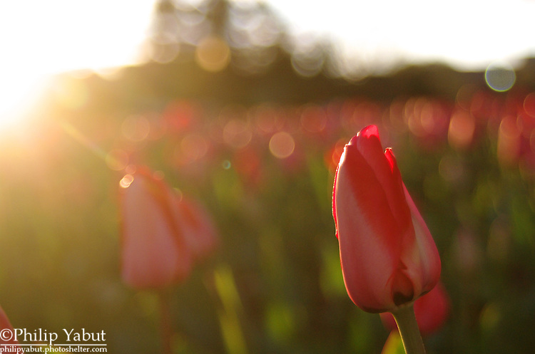 Tulips are in bloom in the gardens around the Arlington Memorial Bridge.
