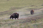 Bull bison rising from a dust bath in the National Bison Range in western Montana