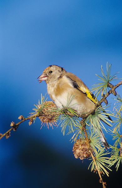 European Goldfinch, Carduelis carduelis , young eating on cones of European Larch (Larix decidua) , Unteraegeri, Switzerland, Oktober 2004
