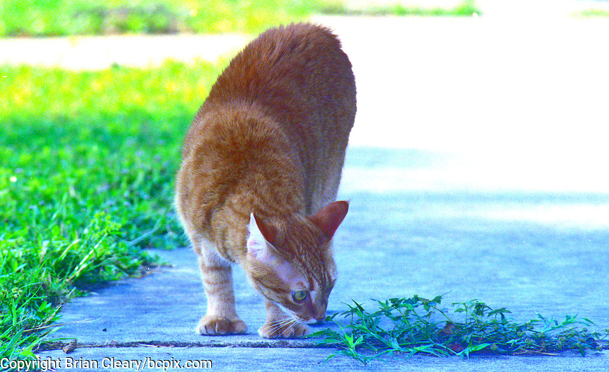 Ernie, a Red Mackeral Tabby cat in Daytona Beach, Florida. (Photo by Brian Cleary/www.bcpix.com)